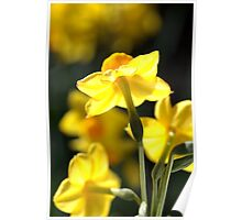 Glowing Lights - Jonquils Poster