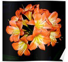 Clivia #2 -- Melbourne Flower Show. Poster