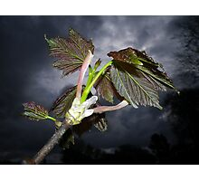 NEW SYCAMORE LEAVES AND STORMY SPRING SKY Photographic Print