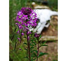 Purple Fringe, Life After Death Photographic Print