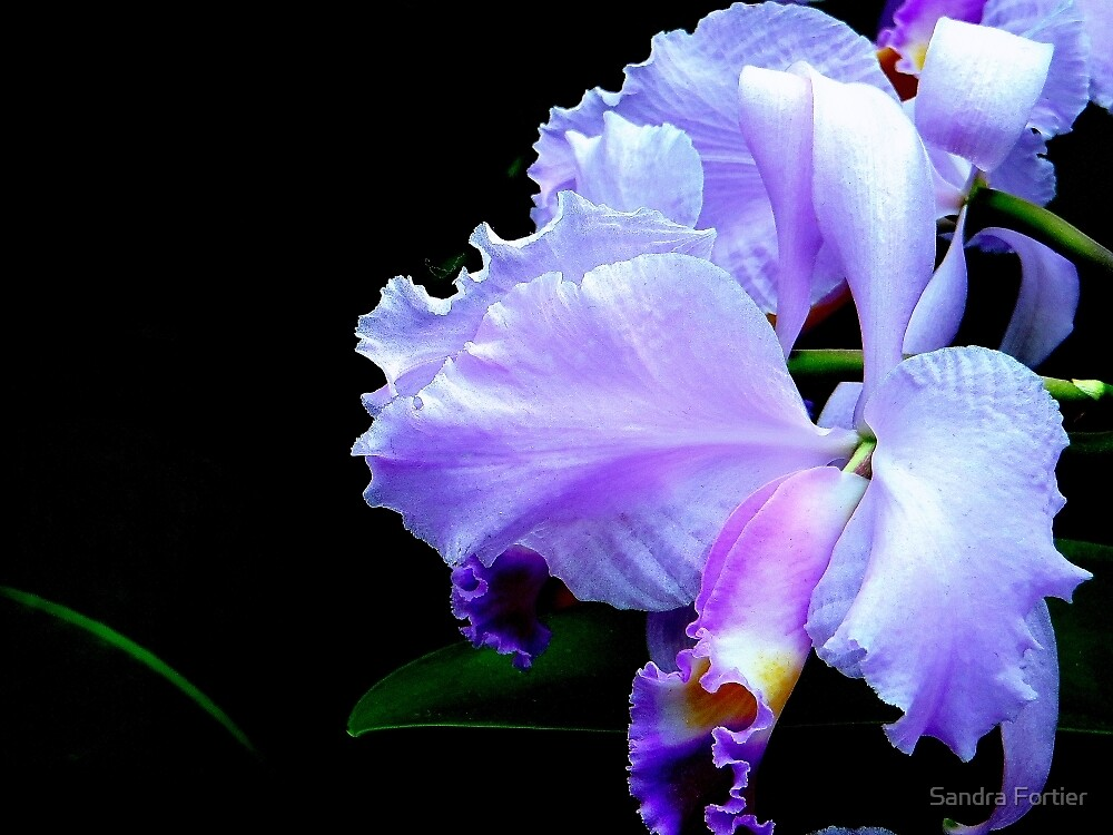 The Mystery of an Orchid by Sandra Fortier