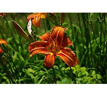 Red Orange Lilly Photographic Print