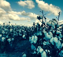Cotton fields, DALBY, QLD by MattLawson