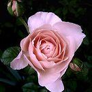 Ambridge Rose by LouiseK