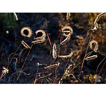 Grama Grass Photographic Print