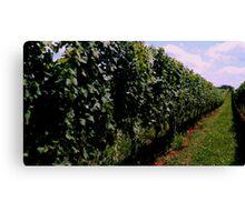 Summer Vineyard Canvas Print