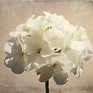 Antique white by shalisa