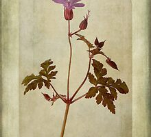Geranium robertianum by John Edwards