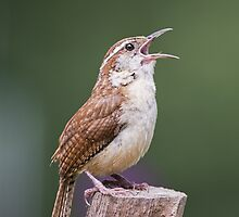 Singing his heart out by Bonnie T.  Barry