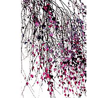 pink willow Photographic Print