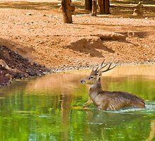 Deer by Stanciuc