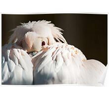 Eastern White Pelican Poster