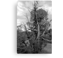 Old Tree 3 Colorado National Monument BW Canvas Print