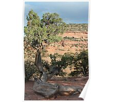 Tree 2 Colorado National Monument Poster