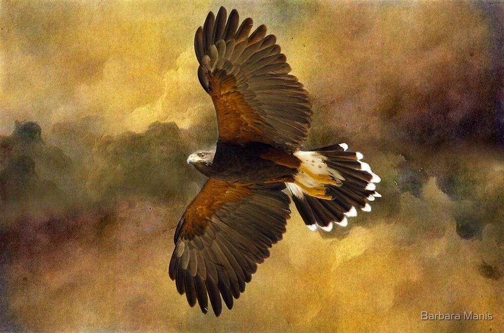 Harris Hawk in Flight by Barbara Manis