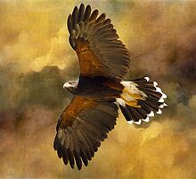 Harris Hawk in Flight by Barbara Manis