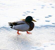 Walk Like A Duckie - Duck by Theodore J.  Glendinning II