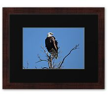 Bald Eagle Atop A Spruce Tree Framed Print