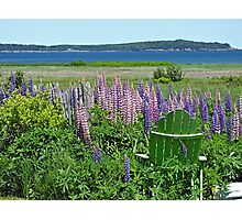 Lupine In Lubec Photographic Print