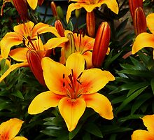 Fiery Beauties - Orange Lilies and Buds by MidnightMelody