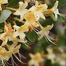 Honeysuckle Azalea by Linda  Makiej