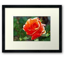 Riotous orange rose Framed Print