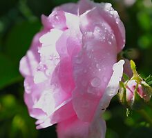Water Droplets on Delicate Pink Rose by Joy Fitzhorn