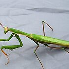 Praying Mantis by Ann Warrenton