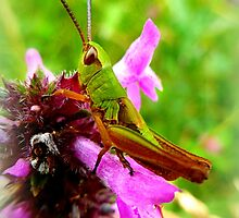 Grasshopper on purple wildflower by ©The Creative  Minds