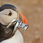 Atlantic Puffin by Paula J James