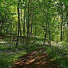 Bee Wood, Bluebells by Rod Johnson