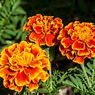 Rhree Marigolds by DPalmer