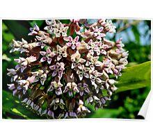 Common Milkweed Poster