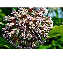 Common Milkweed Photographic Print