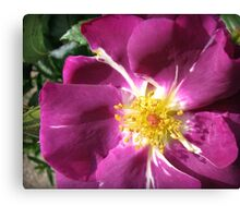 Mysterious Magenta Beauty - Wild Rose Canvas Print
