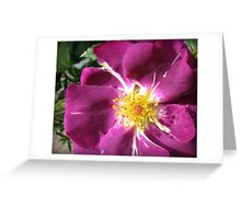 Mysterious Magenta Beauty - Wild Rose Greeting Card