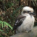 kookaburra sitting on a fence by catherine walker