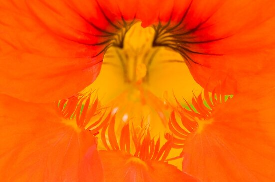 The Magical World of the Nasturtium by Anne Gilbert