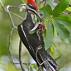 Pileated Woodpecker by Kathy Baccari