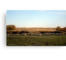 Ewes Fall Grazing On The Prairies Canvas Print