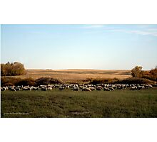 Ewes Fall Grazing On The Prairies Photographic Print
