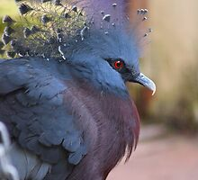 Victoria crowned pigeon by Tracey Feltham