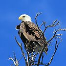 American Bald Eagle by Vickie Emms