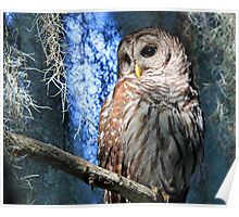 A Florida Barred Owl Poster