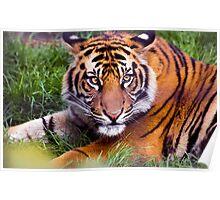 Adolescent Tiger Poster