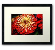 Bright zinnia Framed Print