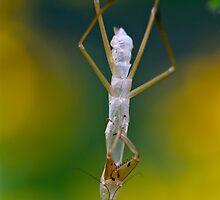 Preying Mantis Shed Skin on Black eyed Susan Wildflower by MotherNature