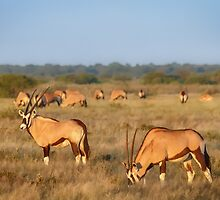 Early Oryx Morning by Owed to Nature