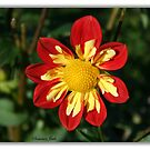 Red and Yellow ~ Collerette Dahlia by SummerJade