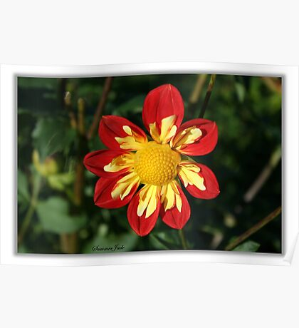 Red and Yellow ~ Collerette Dahlia Poster